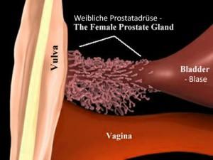 weibliche Prostata, Prostata der Frau, paraurethralen Drüsen, Skene-Drüsen, G-Punkt