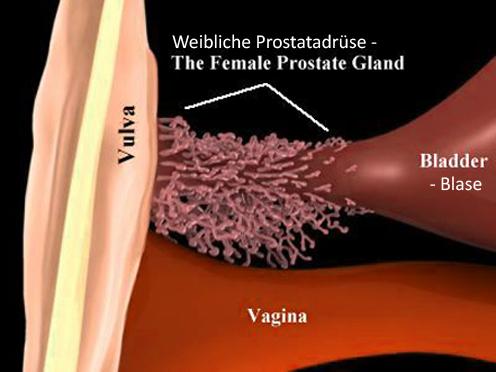 Prostata bei frau